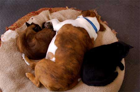 Mooch, Bucky and Mojo in dog bed together